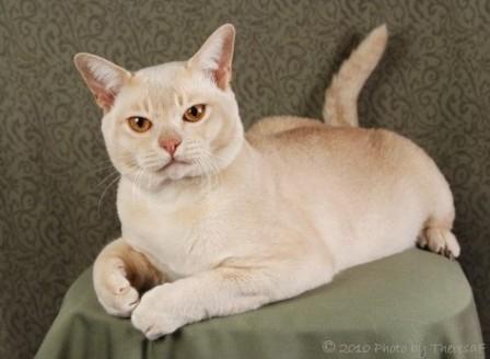 cream Burmese cat
