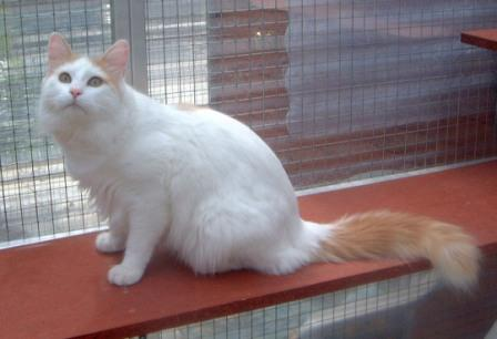 cream Turkish Van Cat