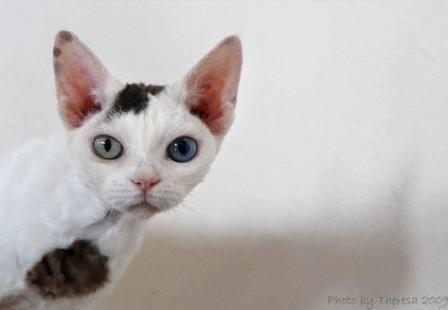 chocolate calico van Devon Rex cat