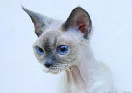 blue point bi-colour Devon Rex