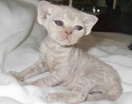18-Day old Devon Rex kitten