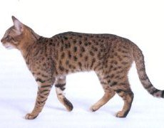 californian spangled cat