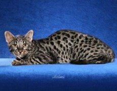 domestic-cat-safari
