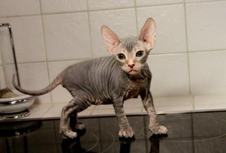 cute Don Sphynx kitten