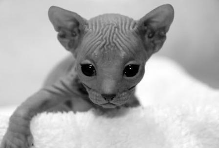 cute Donskoy kittens