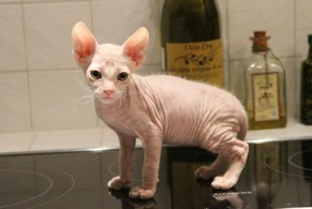 cute Don Sphynx kitten
