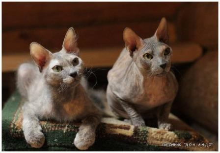 two Donskoy cats