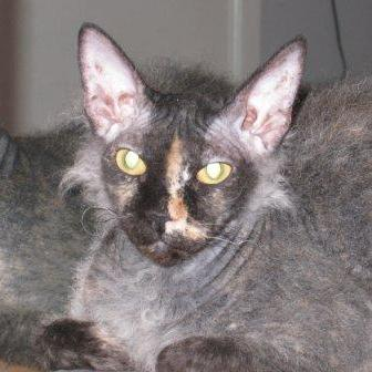 Don Sphynx at about 11 months