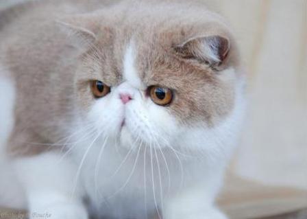 12673fa28e Exotic Cat - Exotic Shorthair Breed Profile