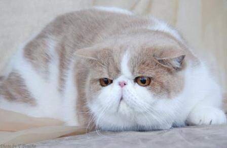 cream bi-color Exotic Shorthair cat