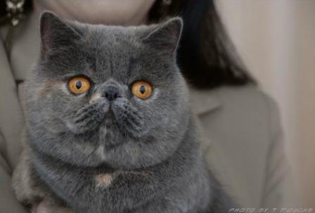 blue tortie Exotic Shorthair cat