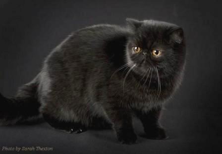 black Exotic Shorthair cat