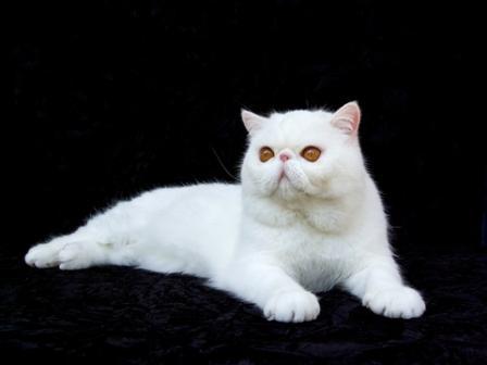 white Exotic Shorthair cat