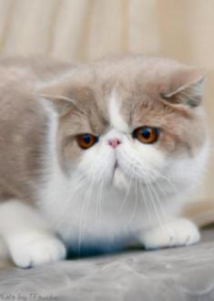 cream bi-color Exotic Shorthair cat