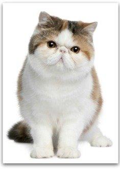 cute Exotic Persian cat