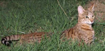 4th generation Savannah Cat
