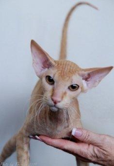 red Peterbald cat