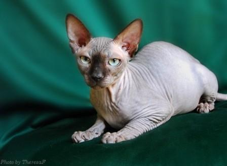 seal mink Sphynx cat