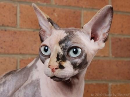 calico mink Sphynx kitten