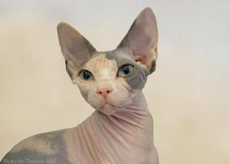 blue calico Sphynx cat