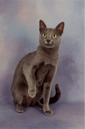 Korat Cat Breed