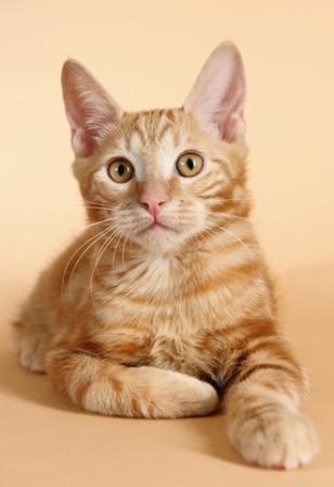 kurialian bobtail kitten