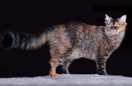 brown tortie tabby La Perm cat