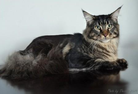 brown classic tabby Maine Coon cat