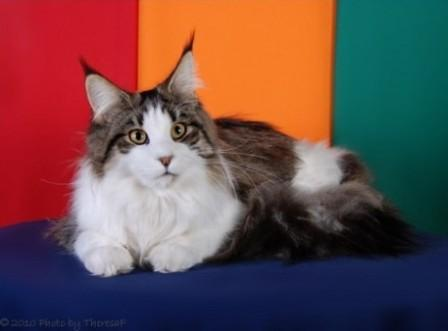 brown mackerel tabby Maine Coon