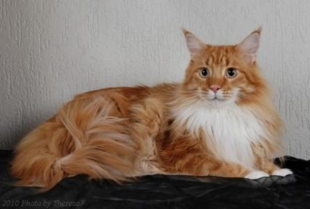 red classic tabby Maine Coon cat