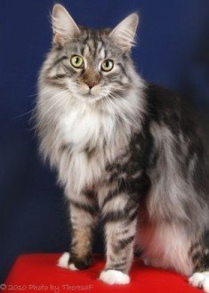 silver classic tabby and white Maine Coon cat