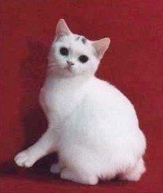 rumpy Manx cat, no tail
