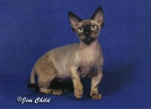 Minskin cat, dwarf cat