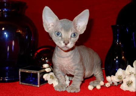 Minskin kitten