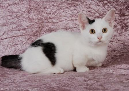 black and white Munchkin kitten