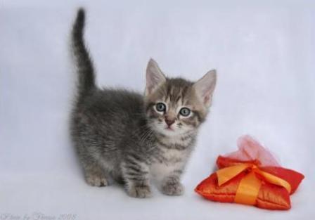 blue mackerel tabby Munchkin cat