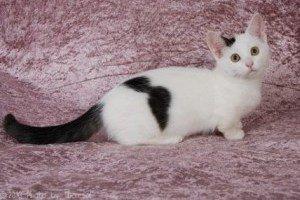 munchkin dwarf cat