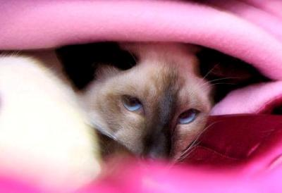 Siamese cat | SheesMagic | Taldie Cattery| © Sarah Thexton