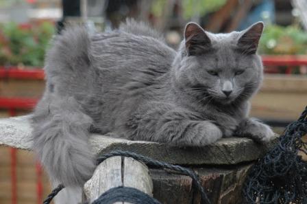 Nebelung blue cat