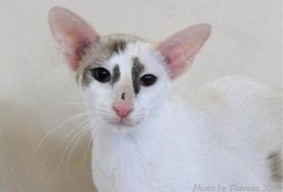 Oriental Shorthair |Taigha Samarah Dawn |Seal calico point | owner and breeder Lucy Arends-Wagner