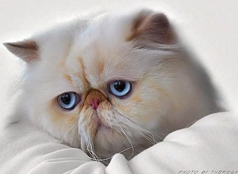 © Theresa Fouche   Persian cat Sp Ch Azizas Royal Slovar   owned by Clive Goosen