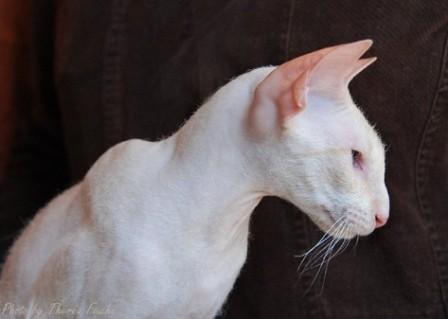 white Peterbald cat