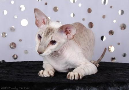 seal tabby point Peterbald cat