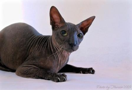 black Peterbald cat