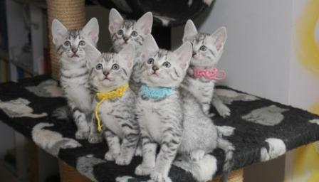 Egyptian Mau kittens waiting for their forever homes