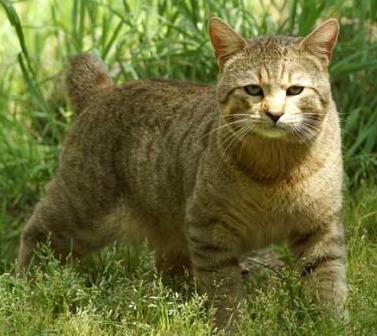 beautiful Pixie Bob cat