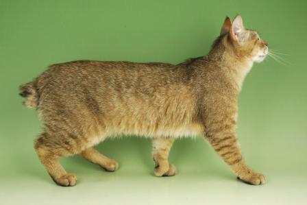 short tailed Pixie Bob cat