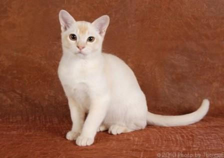 red Burmese cat