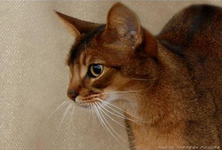 Sp Pr Sherada Picatso  | Color: Ruddy Abyssinian