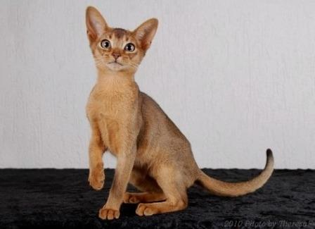 ruddy-brown Abyssinian kitten
